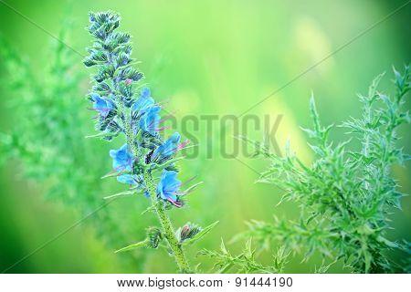 Flower of burdock - thistle