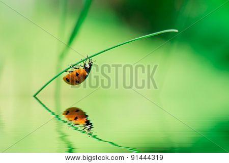 Ladybird On Blade Of Grass Upside Water