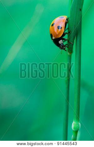 Ladybird On Blade Of Grass
