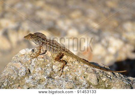 Lizard in the wild