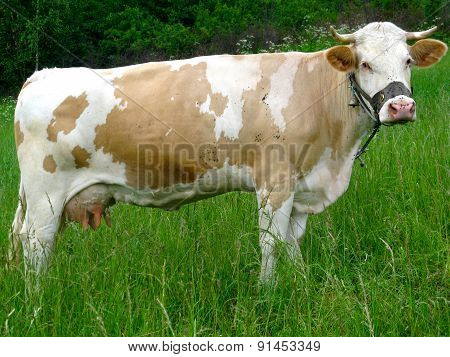 Mottled Cow