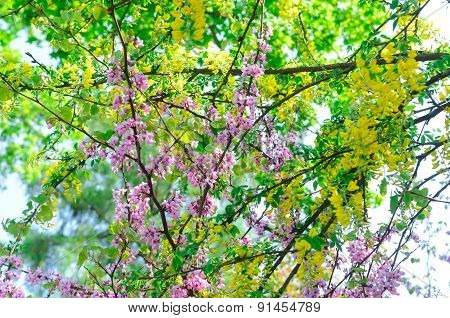 Blossoming Branches Of Tree