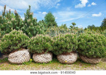 Pine On Tree Nursery Farm