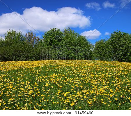 Yellow Dandelions On Springtime