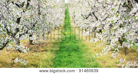 Spring in apple-tree garden