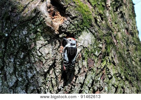White-backed woodpecker,male.