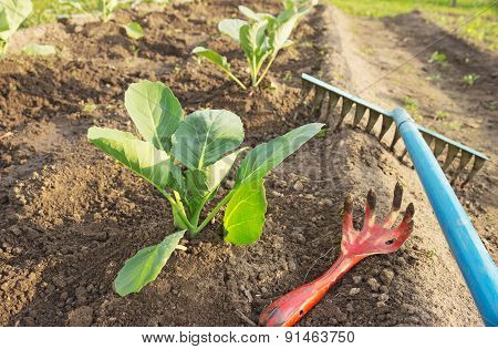 Young Cabbage And Garden Tools