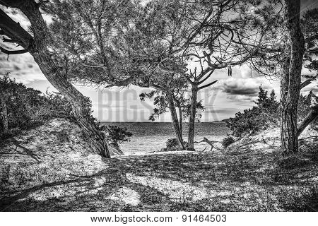 Pine Trees By The Sea In Black And White
