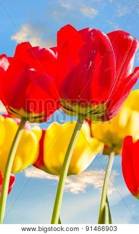 Spring Tulips Backlit On A Blue Sky Background