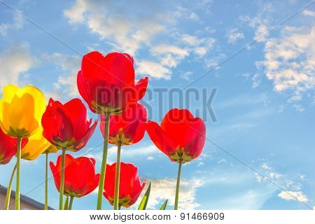 Tulips Backlit On A Blue Sky Background