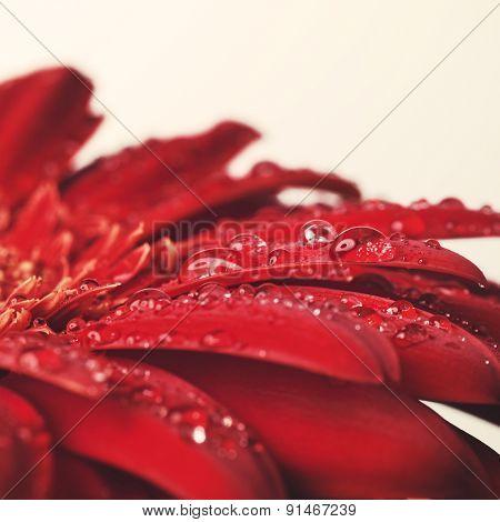 Red Gerbera flower macro