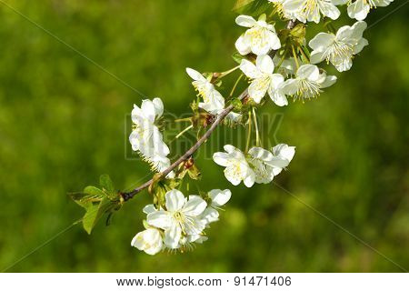Blooming cherry tree twigs in spring