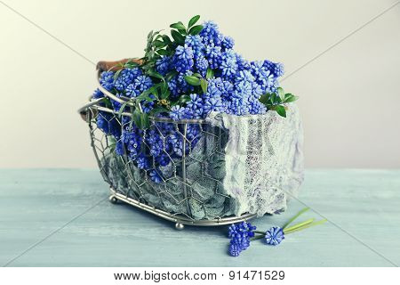Beautiful bouquet of muscari - hyacinth in metal basket on gray background