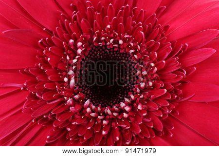 Beautiful bright gerbera, closeup