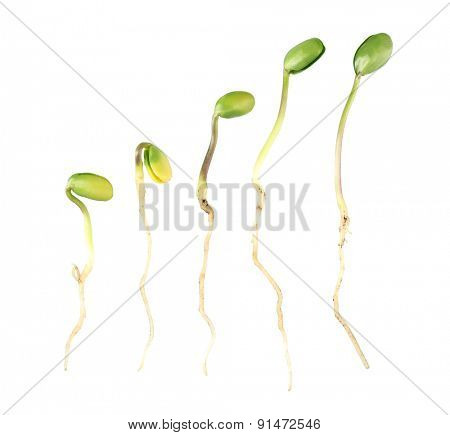 Green bean seedlings isolated on white