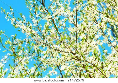 Blooming tree twigs with white flowers in spring on blue sky