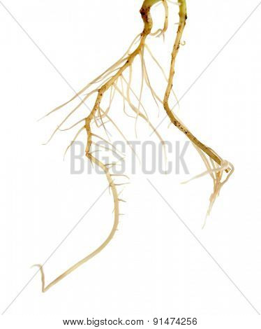 Roots of young sprout isolated on white