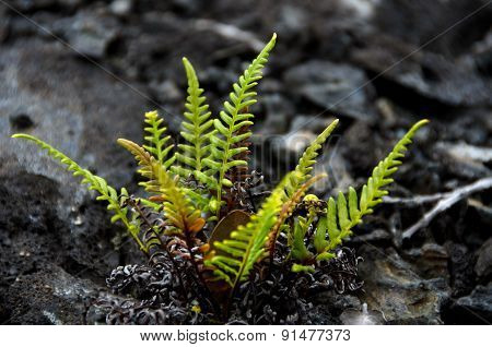 Amau Fern In Front Of Heap Of Lava Stones Near Chain Of Craters Road