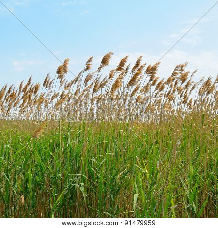 Thicket Of Reeds