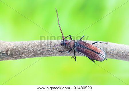 Flying Beetle