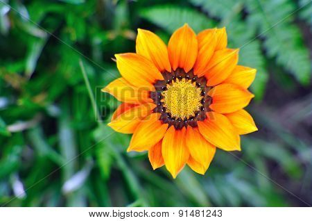 Gazania Yellow Orange Daisy Like Flower