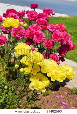 Flower Bed With Red And Yellow Peonies