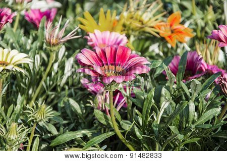 Blossoming Gazania Flowers