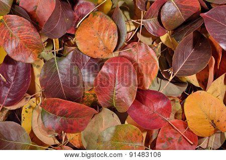 Fallen Autumn Leaves Of Pear