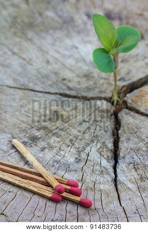 Green Concept,seedling Growing In A Timber And Matches, Focus On Matches