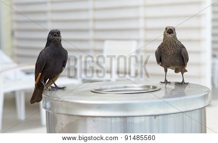 Tristramis Starling Or Tristramis Grackle .