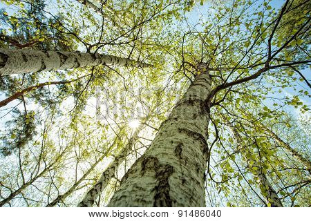 Birch forest abstract natural backgrounds for your design