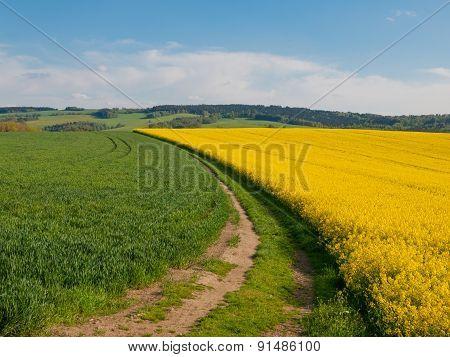 Rape plant field