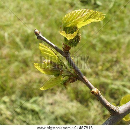 Unripe Mulberry