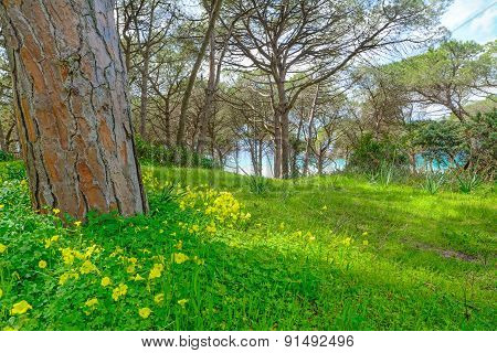 Pines And Grass By The Sea