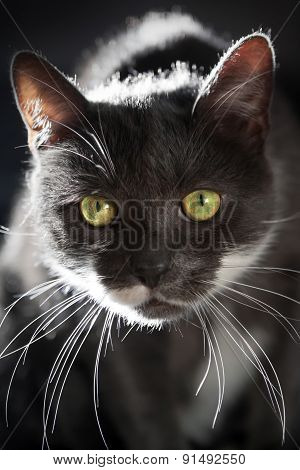 Gray Cat In Backlight