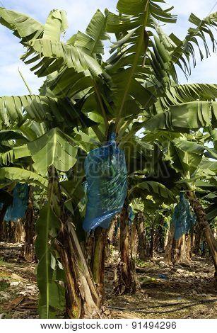 France, Banana Plantation In Martinique