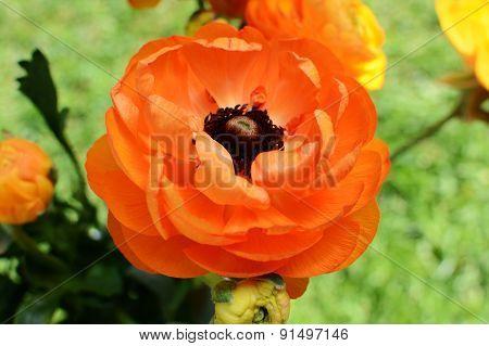Orange Ranunculus Flower