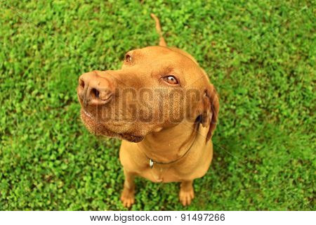 Hungarian pointer
