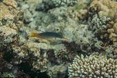picture of red snapper  - Bird wrasse  - JPG