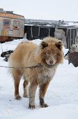 foto of sled-dog  - Shaggy haired sled dog on a leash - JPG