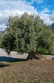 pic of olive trees  - Old olive tree with many colorful olives on a branch - JPG
