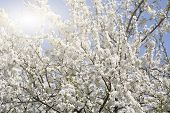 foto of cherry  - blossoming cherry in the cherry orchard in the spring - JPG
