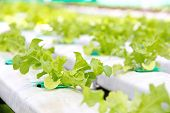 pic of frilly  - Hydroponics vegetable farm - JPG