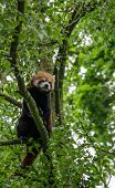 picture of panda  - Red Panda sitting alone in a tree - JPG