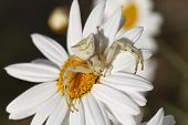 picture of mimicry  - Close up white spider. Thomisus onustus in white daisy flower. Small crab spider.