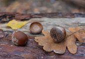 picture of acorn  - Autumn leaves acorns - JPG