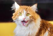 stock photo of licking  - Nice red cat with yellow eyes licks lips - JPG