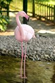 picture of zoo  - Pink flamingo standing in the pond at the zoo - JPG