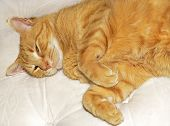 pic of mattress  - An orange or ginger cat lying on a mattress ready for bed - JPG