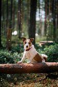foto of jack russell terrier  - Dog Jack Russell Terrier walks in the park summer - JPG